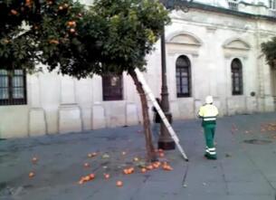 Recolección de la naranja amarga por funcionarios del Ayuntamiento de Sevilla