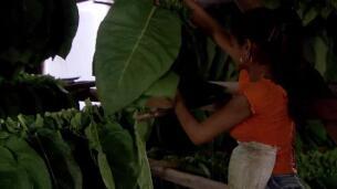 Así se cultiva la hoja del tabaco habano