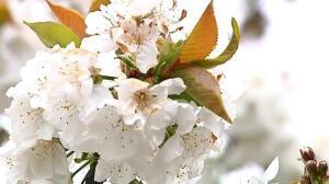 Más de un millón y medio de cerezos ya están en flor
