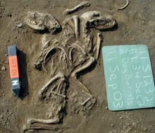 Un entierro ritual de dos perros en un sitio en Illinois cerca de St. Louis sugiere una relación especial entre humanos y perros hace entre 660 y 1350 años